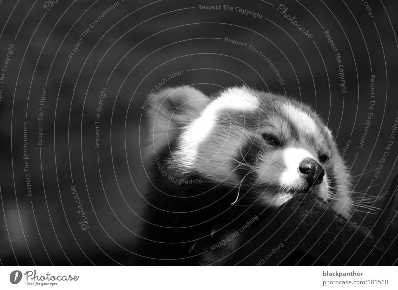 In search of freedom Black & white photo Exterior shot Copy Space left Copy Space top Neutral Background Contrast Animal portrait Looking away Wild animal Bear