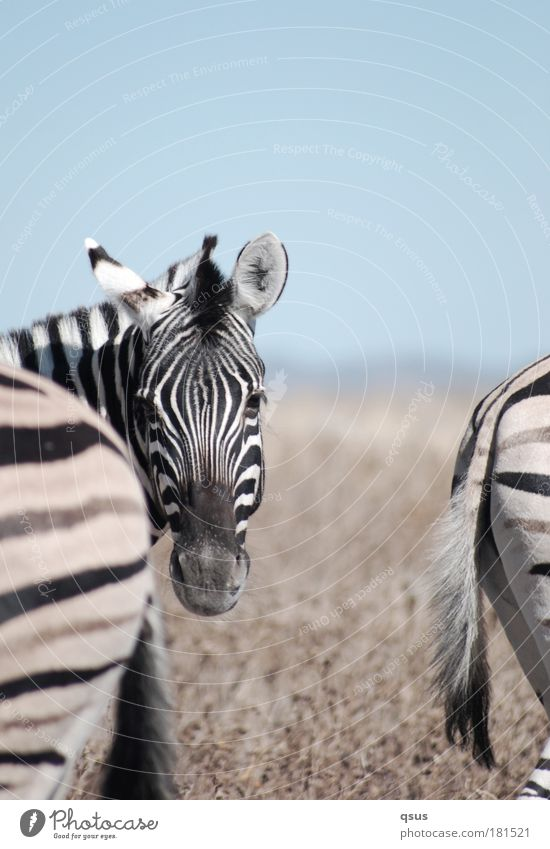3 zebras Subdued colour Exterior shot Close-up Copy Space bottom Blur Animal portrait Front view Rear view Looking into the camera Nature Drought Wild animal