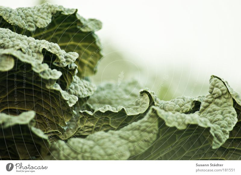green monster Colour photo Food Vegetable Nutrition Organic produce Vegetarian diet Growth Savoy cabbage Cabbage Green Curls Healthy Eating Agriculture