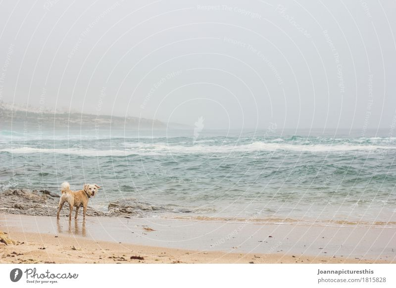 Dog on the beach Vacation & Travel Trip Adventure Freedom Beach Ocean Waves Landscape Water Autumn Winter Bad weather Gale Fog Rain Atlantic Ocean Animal Pet 1