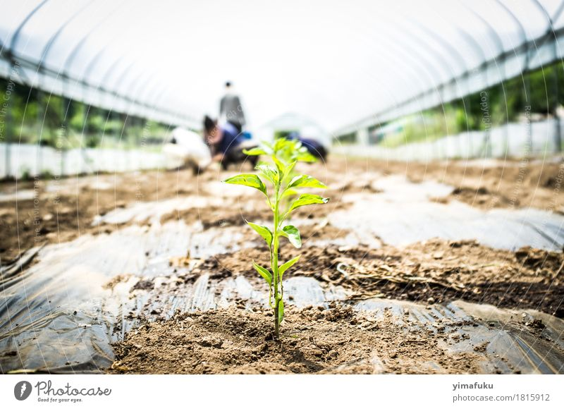 Chili under a greenhouse Plant Green White Leaf Spring Brown Earth Herbs and spices Vegetable Agriculture Determination Agricultural crop Pot plant