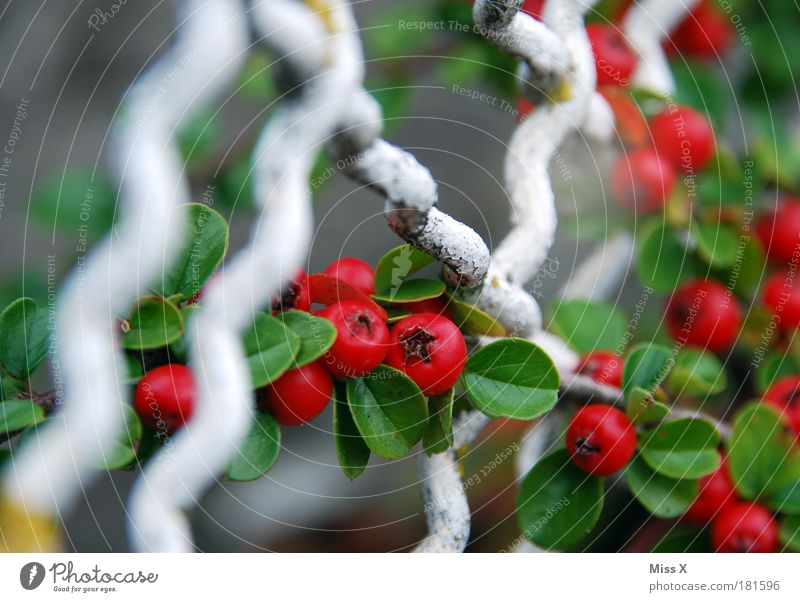 Nature Plant Red Summer Leaf Autumn Garden Park Small Round Bushes Fence Berries Poison Grating