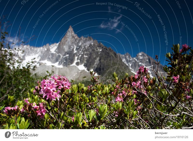 alpine rose Vacation & Travel Summer Nature Plant Air Beautiful weather Rose Rock Alps Mountain Peak Pink Alpine Chamonix vallee Alp rose Background picture
