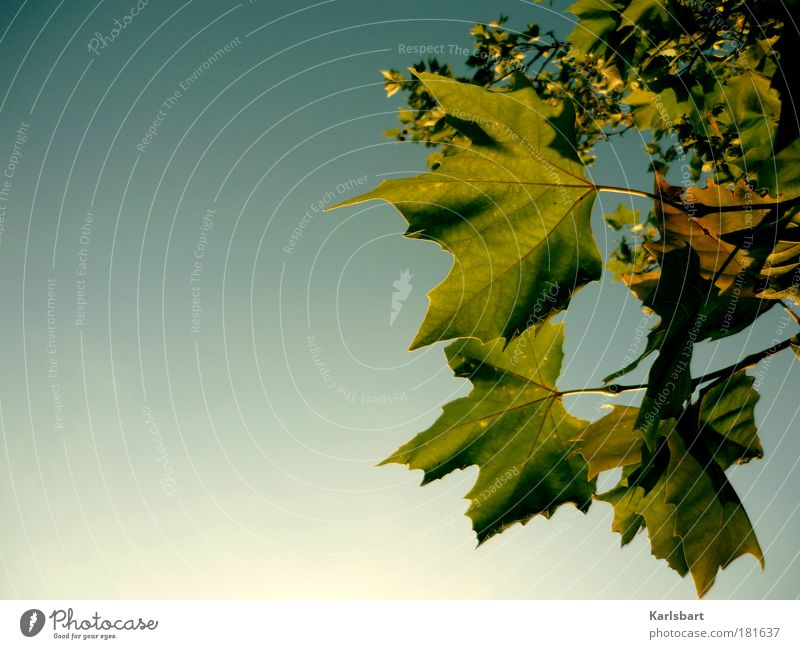 leaf. Design Life Harmonious Senses Relaxation Calm Fragrance Thanksgiving Nature Sky Cloudless sky Sunlight Autumn Tree Leaf Park Hang Blue Ease Change