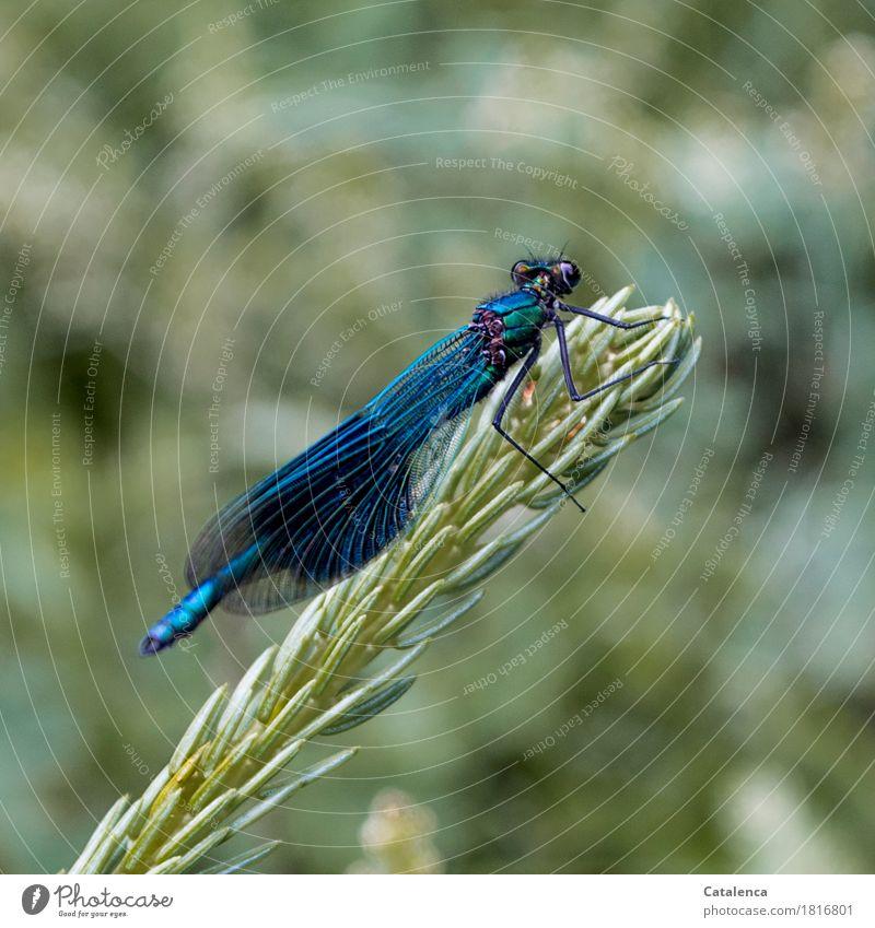 landing break Plant Animal Summer Fir branch Lakeside Insect Bluewing 1 Flying Elegant Glittering Green Attentive Esthetic Relaxation Environment Blue Dragonfly