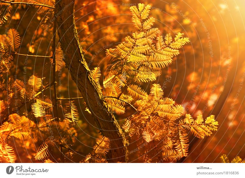 * with all violence bring back autumn* Nature Plant Autumn Tree Cypress Bald-cypress taxodiaceae Taxodium distichum Autumnal Autumnal colours Warmth Orange