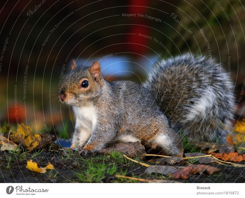 grey squirrels Animal Wild animal Animal face Pelt Squirrel Rodent 1 Cute Brown Multicoloured Gray Silver White Colour photo Exterior shot Day