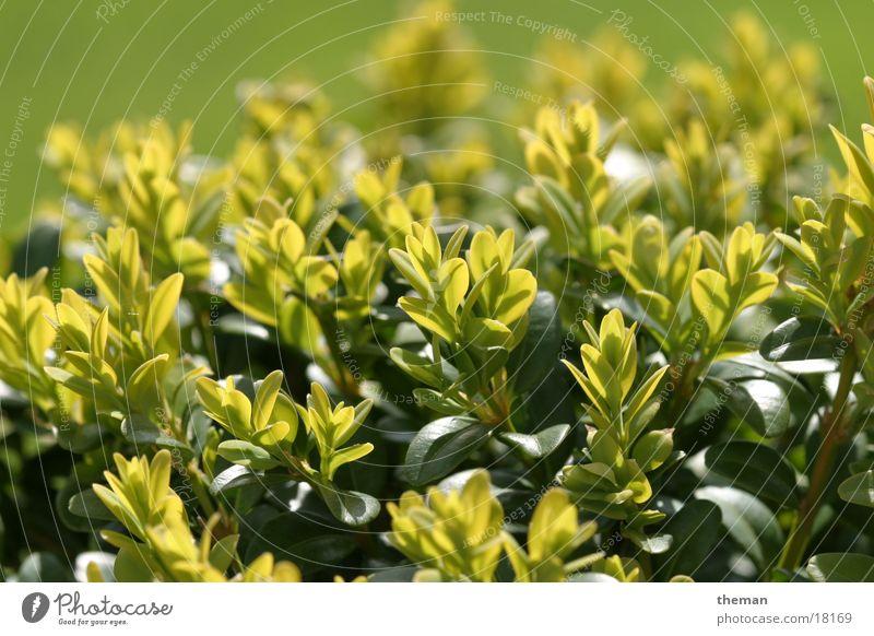 Box tree 2 Green Leaf Garden ornamental shrub