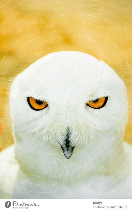 perspicacity Wild animal Snowy owl 1 Animal Observe Illuminate Looking Esthetic Exceptional Exotic Positive Warmth Yellow Orange White Bravery Self-confident