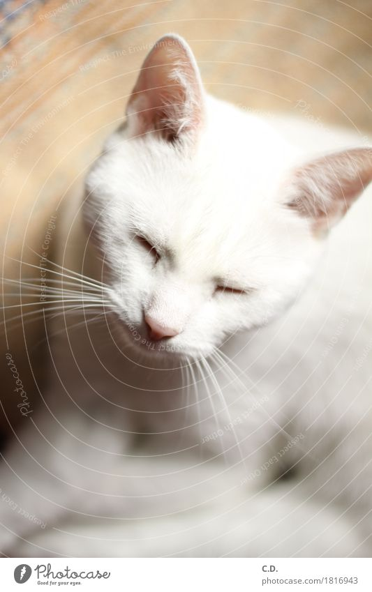 Gino Pet Cat 1 Animal Relaxation White Calm Fatigue Purr Sleep Colour photo Animal portrait Whisker Soft Shallow depth of field Cat's head Cat's ears