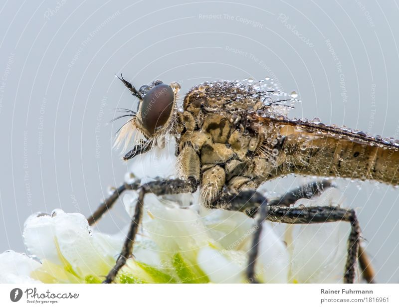 "robber fly in the morning dew Nature Plant Animal Fly ""Robber fly Insect"" 1 Sit Wait Creepy ""Blossom Dew Predator"" Colour photo Exterior shot Close-up"
