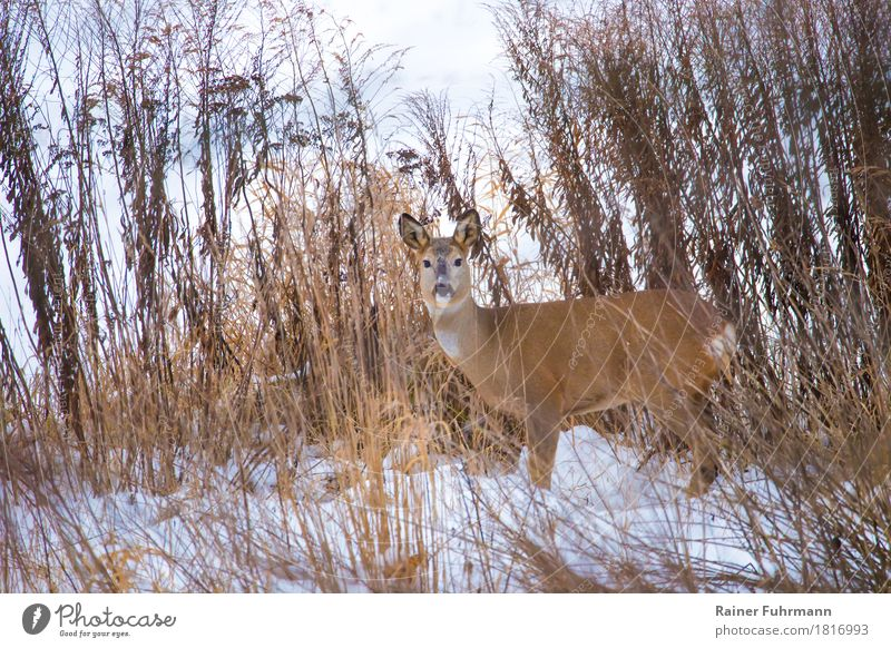 "a deer in a winter landscape Nature Plant Animal Meadow Field ""Deer Ricke"" 1 Observe Stand Wait Curiosity ""Winter Snow Natural animals wildlife Colour photo"