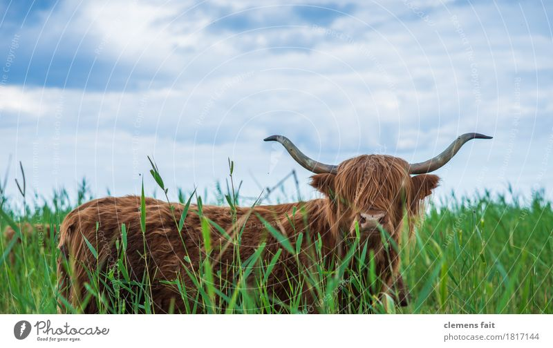 Scottish Highland Cattle from Usedom Bullock Antlers To feed Blue Sky Meadow Lawn Bushes Common Reed Looking Gaze Bushy Long-haired Highland cattle