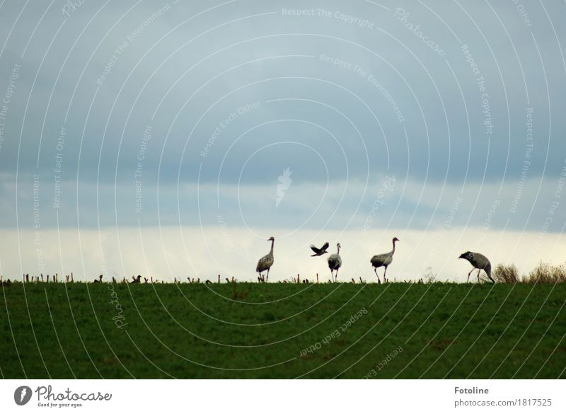 Four + one Environment Nature Plant Animal Sky Clouds Grass Field Wild animal Bird Esthetic Free Natural Gray Green Crane Crow Raven birds Flying Colour photo