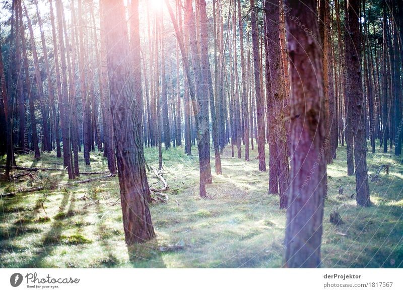 Sunlight in the pine forest Vacation & Travel Tourism Trip Adventure Far-off places Expedition Hiking Environment Nature Landscape Plant Autumn