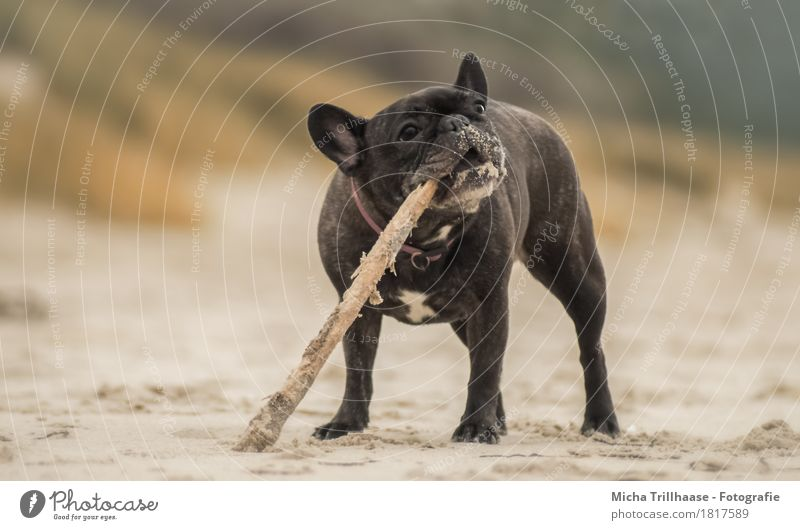 French Bulldog with sticks on the beach Nature Earth Sand Beach Animal Pet Dog Animal face Pelt Claw Paw 1 Wood To feed Playing Stand Romp Throw Dirty Happiness