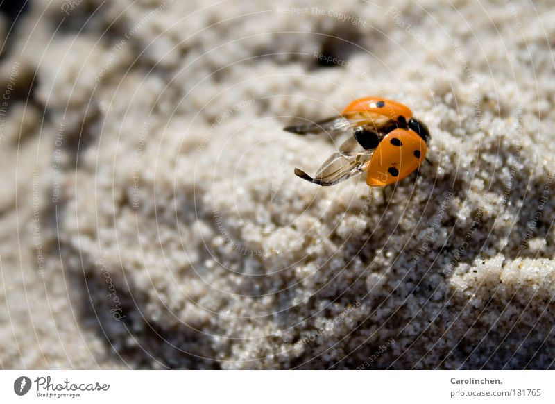 Nature Red Black Animal Sand Bright Small Environment Wing Wild animal Beautiful weather North Sea Ladybird Beetle