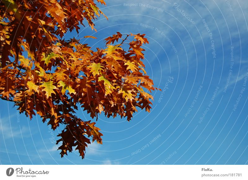 Nature Sky Tree Blue Plant Leaf Yellow Autumn Warmth Orange Environment Gold Transience Beautiful weather Autumn leaves Oak tree