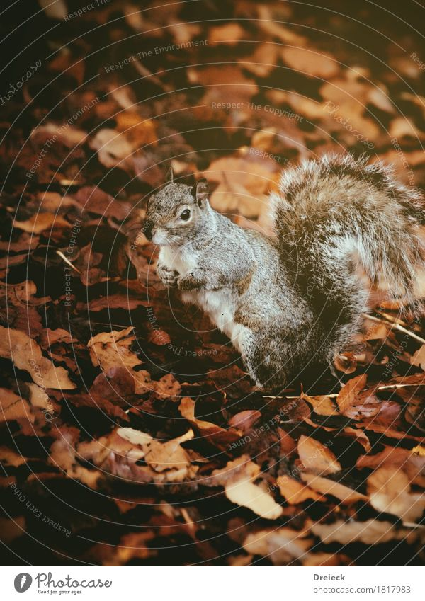 grey squirrels Environment Nature Autumn Leaf Park Forest Animal Wild animal Animal face Pelt Rodent Squirrel 1 Observe Cute Brown Orange Silver Colour photo