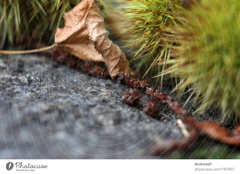 hedgehogs Colour photo Exterior shot Close-up Detail Copy Space bottom Environment Nature Plant Earth Autumn Tree Lie Green Autumnal Autumn leaves Leaf Granite