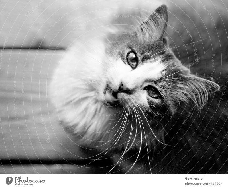 Beautiful Eyes Animal Wood Cat Nose Black & white photo Set of teeth Ear Animal face Pelt Friendliness Appetite Furrow Pet Long-haired