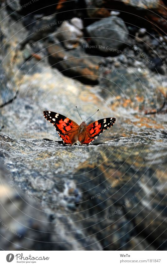 flight miracle Colour photo Exterior shot Deserted Morning Sunlight Animal portrait Nature Rock Butterfly 1 Uniqueness Break Painted lady alpine overflight Day