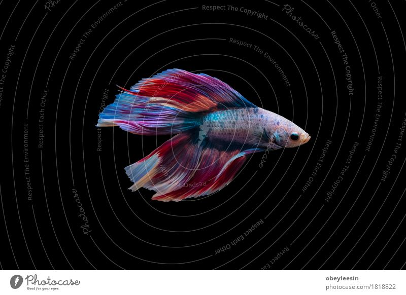 Siamese fighting fish isolated Art Nature Animal Pet Farm animal Fish 1 Adventure Colour photo Multicoloured Deserted Neutral Background Day Animal portrait