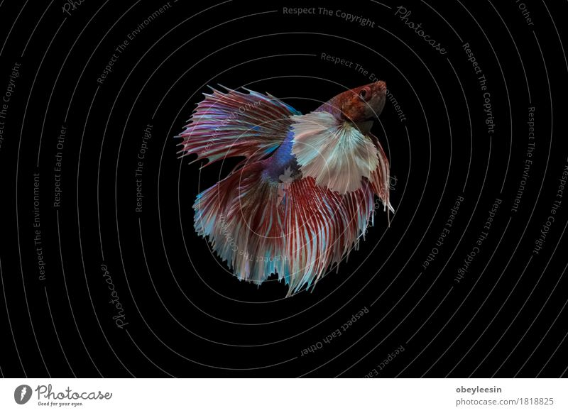 Siamese fighting fish isolated Nature Animal Art Fish Adventure Pet Artist Farm animal
