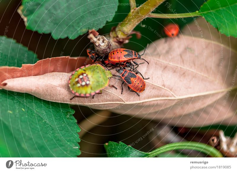 A couple of firebugs Nature Leaf Movement Going arthropod background Biology Firebug Living thing Bug Insect spring Colour photo Exterior shot Close-up Detail