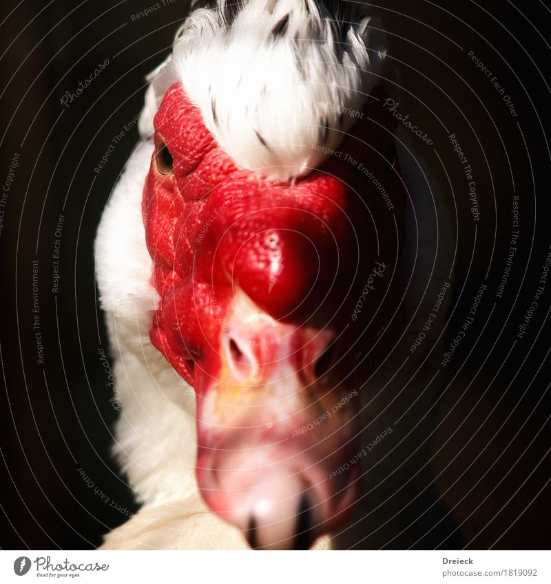 Black-winged Duck Animal Bird Animal face Pelt Duck birds 1 Red White Colour photo Exterior shot Close-up Light Shadow Contrast Shallow depth of field