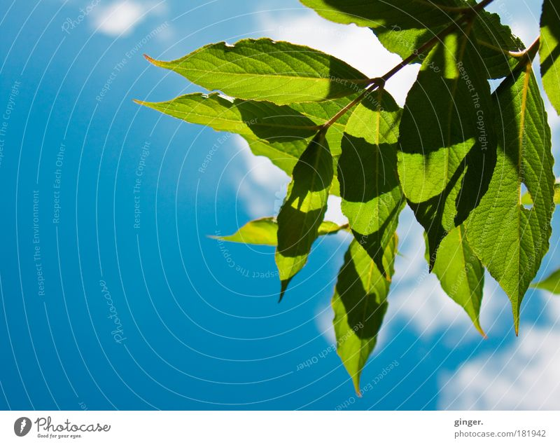 foliage Nature Plant Sky Summer Blue Green White Sunlight Leaf Beautiful Shadow Branch Clouds Deserted Leaf green Colour photo Exterior shot Copy Space left Day