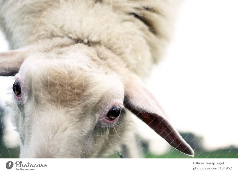 Nature White Eyes Nutrition Animal Meadow Environment Soft Animal face Natural Pelt Sheep Farm animal