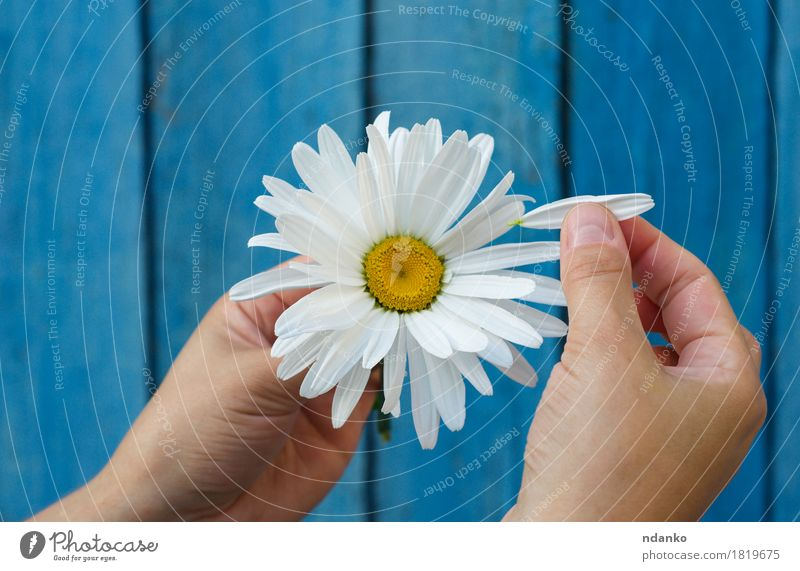Human hands tear on a petal from a head of daisies Human being Hand Fingers Plant Flower Wood Love Blue White Happiness Together Joy Dream Daisy Chamomile