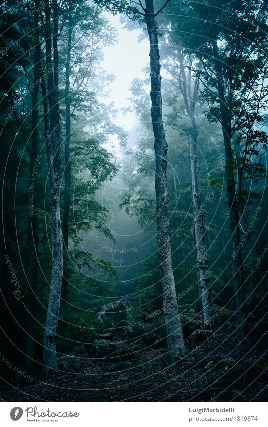 Dark forest with fog Hallowe'en Nature Landscape Plant Autumn Wind Fog Tree Park Forest Wild Fear Colour Surrealism trunk October mystery Wilderness Spooky mood