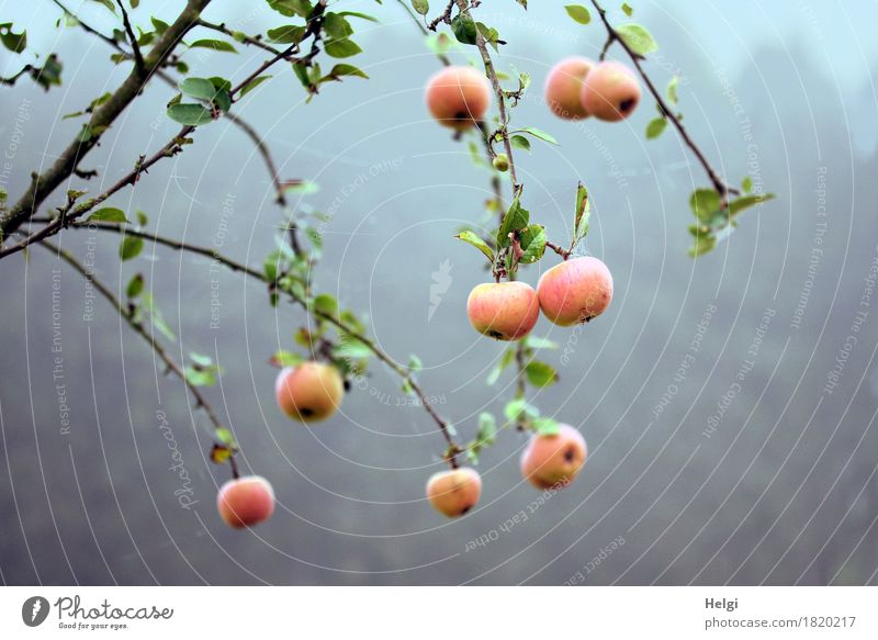 residual stock... Food Apple Environment Nature Plant Autumn Fog Tree Leaf Apple tree Twig Field Hang Growth Authentic Fresh Uniqueness Cold Delicious Natural