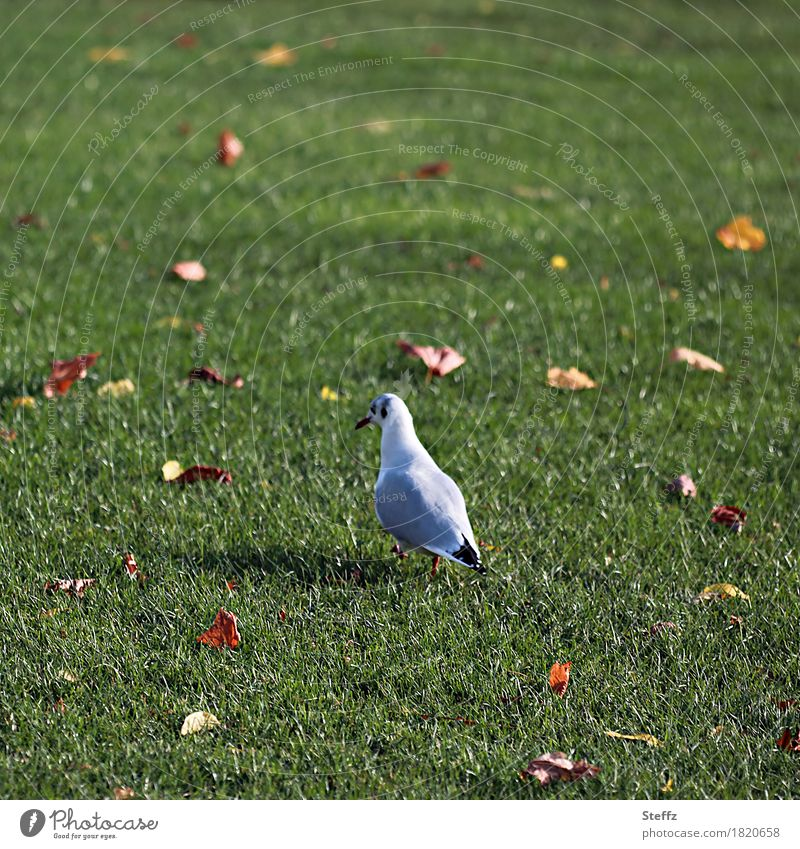 keep going Seagull Lawn Autumn leaves Wild bird Bird Going on foot across October autumn impression autumn leaves Foraging To go for a walk autumn mood Grass
