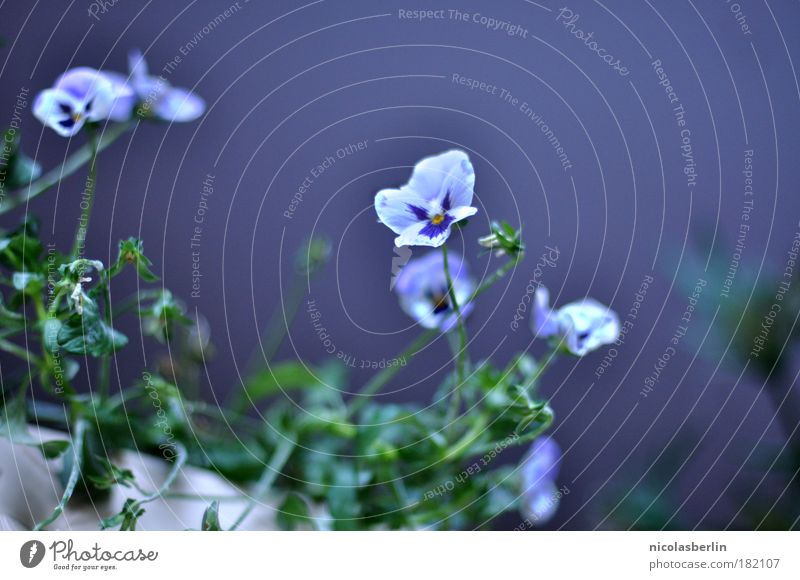 Nature Beautiful White Plant Blossom Happy Contentment Wait Environment Happiness Violet Thin Discover Interest Patient Faded