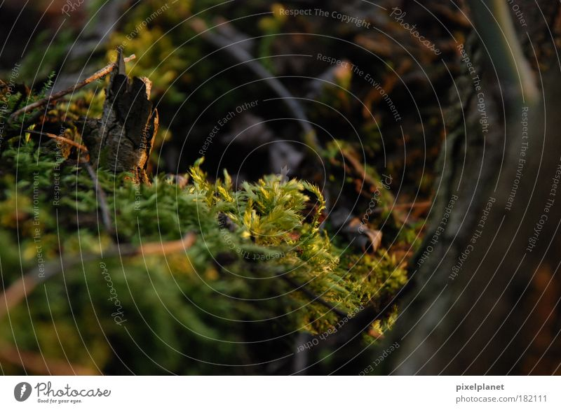 moss Colour photo Exterior shot Detail Deserted Evening Worm's-eye view Environment Nature Autumn Plant Tree Moss Warm-heartedness Judicious Day