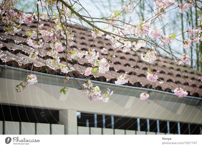 Plant Tree Wall (building) Blossom Spring Building Wall (barrier) Pink Branch Roof New start
