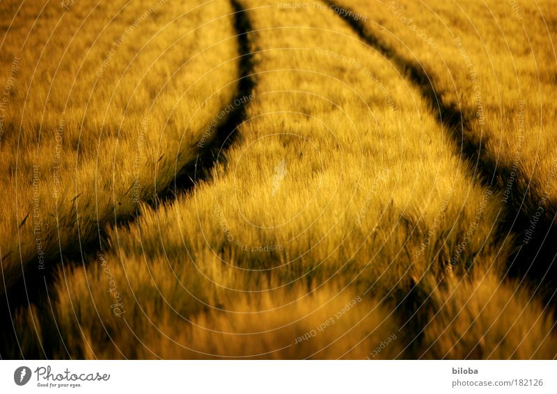 country gold Environment Nature Plant Autumn Warmth Field Brown Yellow Gold Black Cornfield Grain Harvest Curve Arch Structures and shapes Background picture