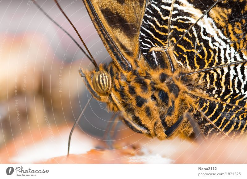 fully striped Nature Plant Animal Butterfly 1 Brown Orange Pattern Striped Colour photo Close-up Detail Macro (Extreme close-up) Structures and shapes Deserted