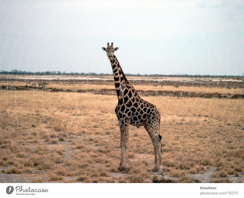 giraffe Namibia giraffe