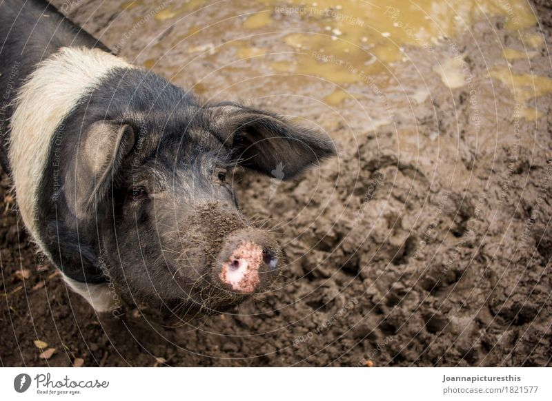 sow Meat Well-being Agriculture Farmer Swinishness Earth Animal Farm animal Swine Sow saddle pig Dirty Clean Contentment Comfortable Mud Sludgy Colour photo