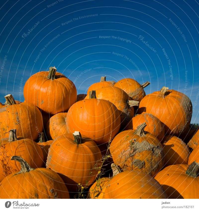 Blue Sun Yellow Autumn Nutrition Architecture Food Field Gold Large Vegetable Firm Organic produce Stack Hallowe'en Pumpkin
