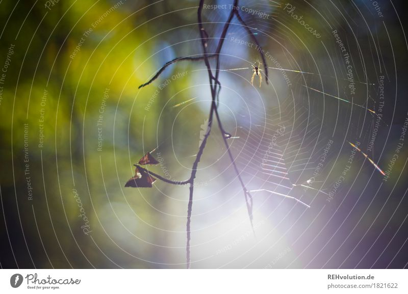 spider Environment Nature Animal Forest Spider 1 Natural Green Twig Spider's web Colour photo Exterior shot Detail Day Sunlight Back-light Blur