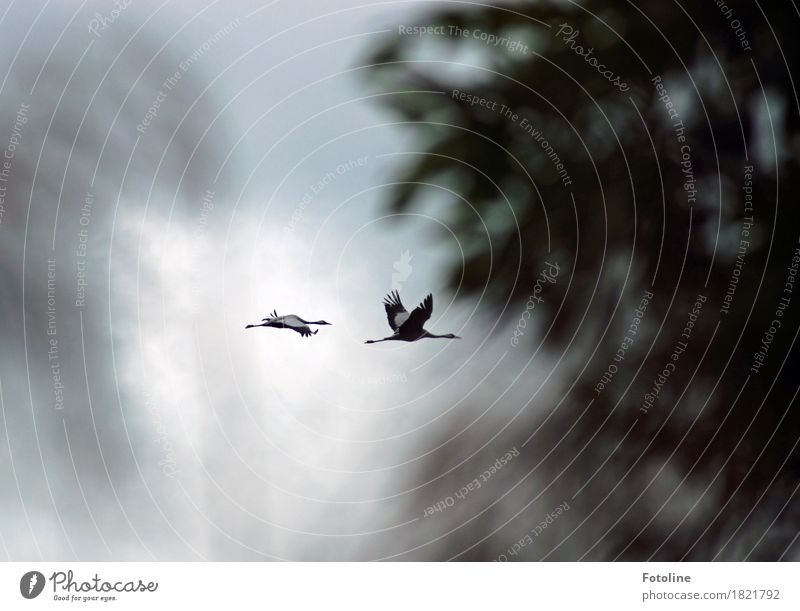 crane flight Environment Nature Plant Animal Air Earth Clouds Autumn Bad weather Tree Wild animal Bird Wing 2 Pair of animals Natural Gray Crane Flying Treetop