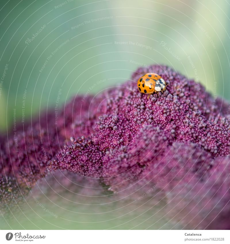 On aphid search Nature Plant Animal Autumn Agricultural crop Cauliflower Beetle Ladybird 1 Movement Flying To feed Crawl Faded Fresh Healthy Glittering Green