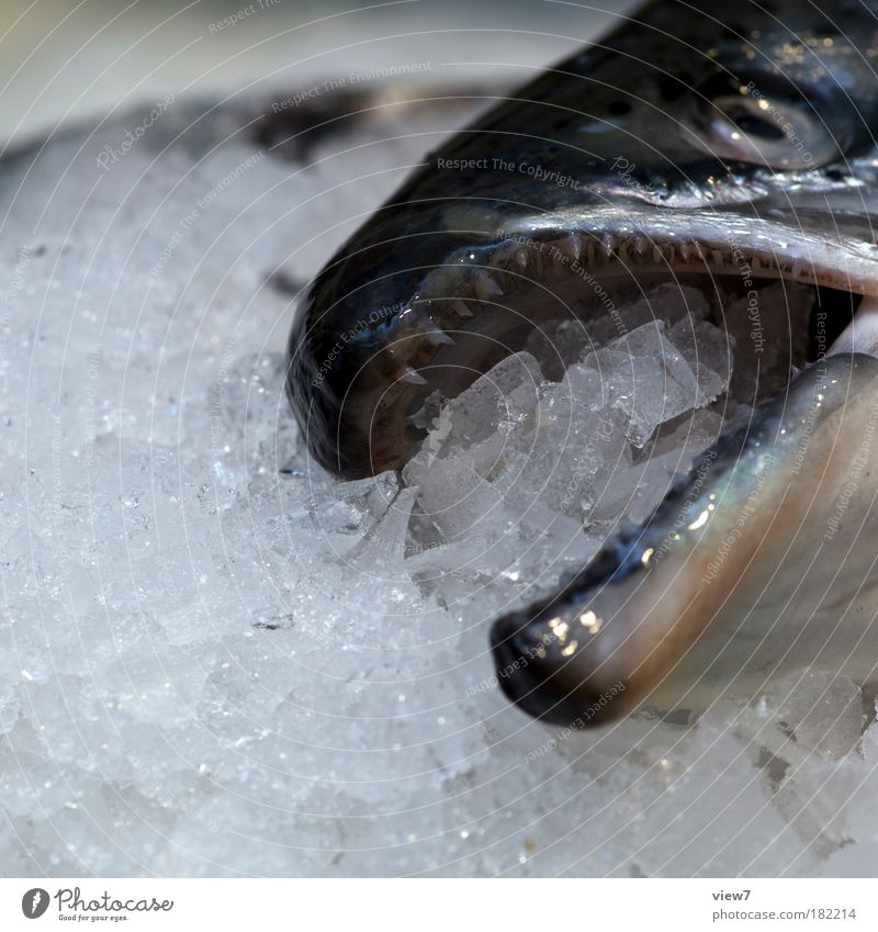 ice fish Colour photo Subdued colour Detail Deserted Copy Space left Shallow depth of field Looking Fish Dead animal 1 Animal Cold Wet Clean Gray To enjoy