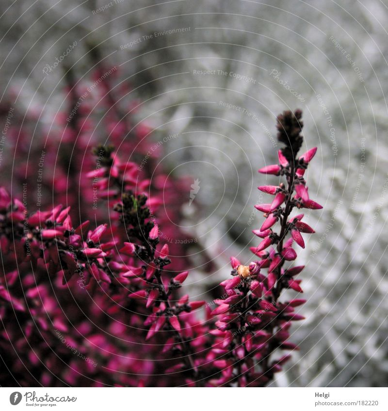 heather Colour photo Multicoloured Exterior shot Detail Deserted Copy Space right Copy Space top Day Nature Plant Autumn Flower Blossom Heather family