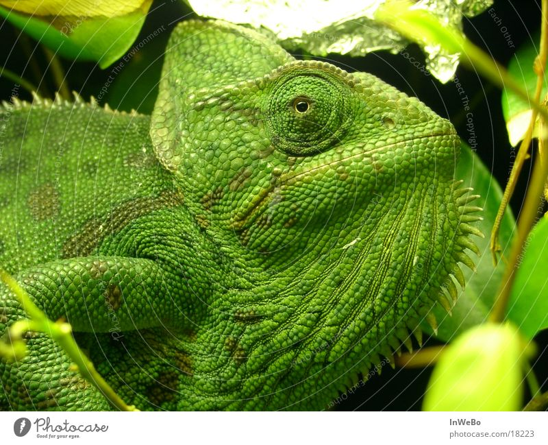 Green Eyes Reptiles Saurians Chameleon